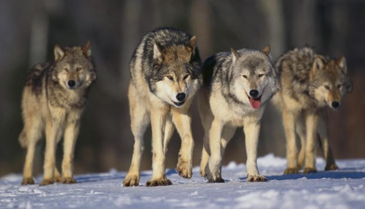 other-wolf-pack-snow-animals-wolkves-nature-woelfe-rudel-wald-raubtiere-phone-wallpapers-1